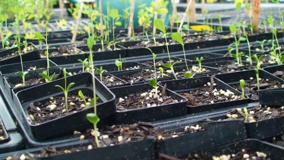 blue_false_indigo_seedlings2