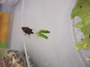 adult feeding on a caterpillar