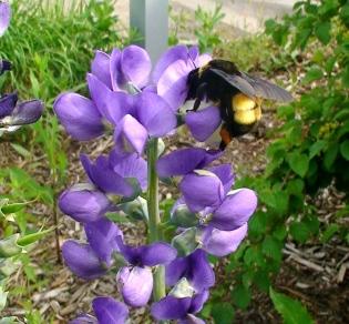 Bumblebee pollinating false blue indigo flowers