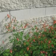 columbine_flowers