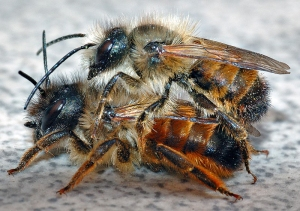 Red mason bees - photo by Andre Karwath