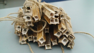 Hollowed-out dead cup plant stems used for orchard mason bee nesting tubes