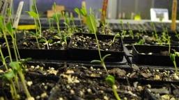 Blue false indigo seedlings
