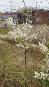 Plum tree in bloom, April 28, 2009