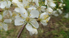 American plum blossoms, April 2009