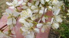 Plum blossoms, April 2009