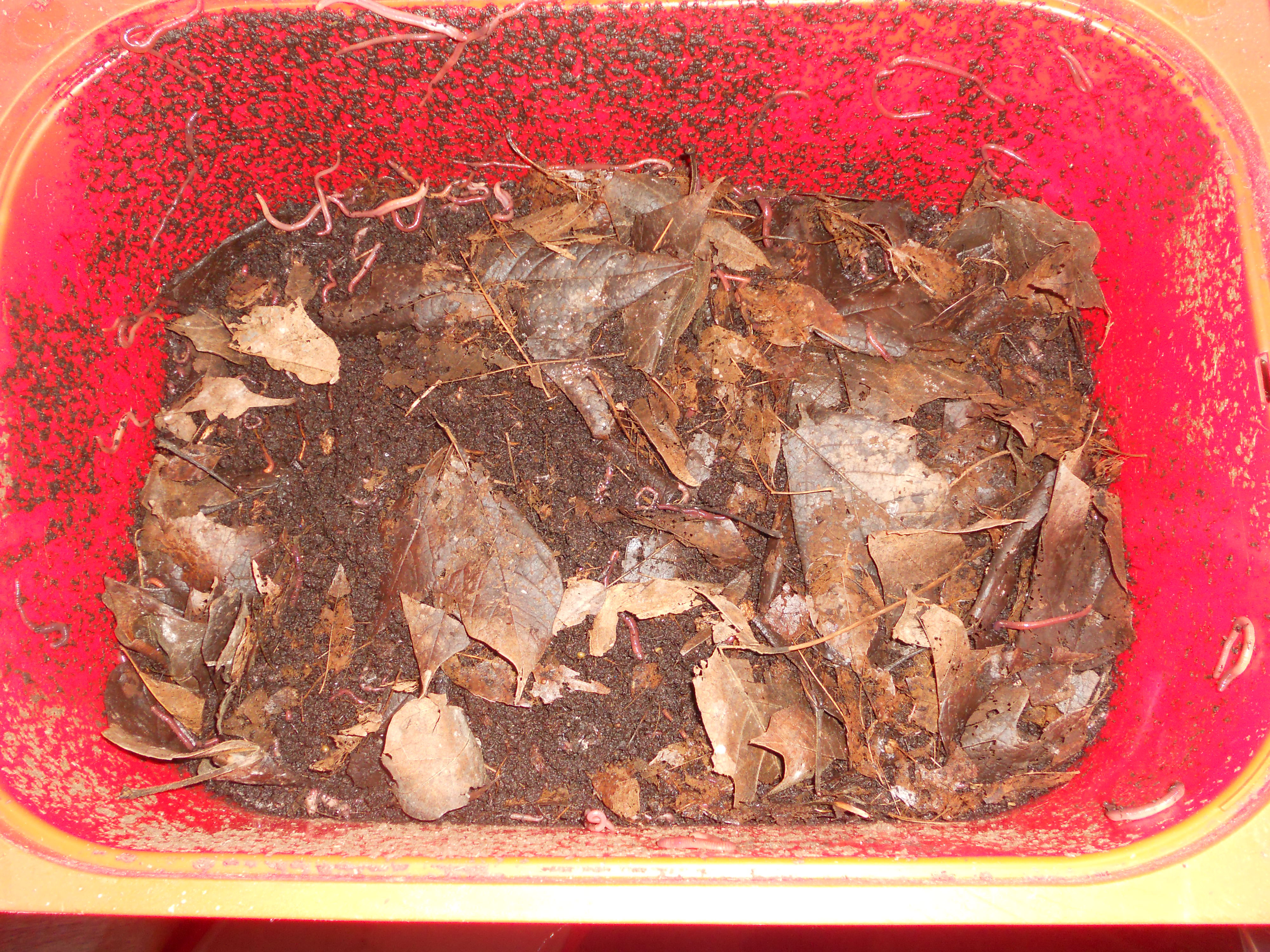 Worm Bin With Leaves