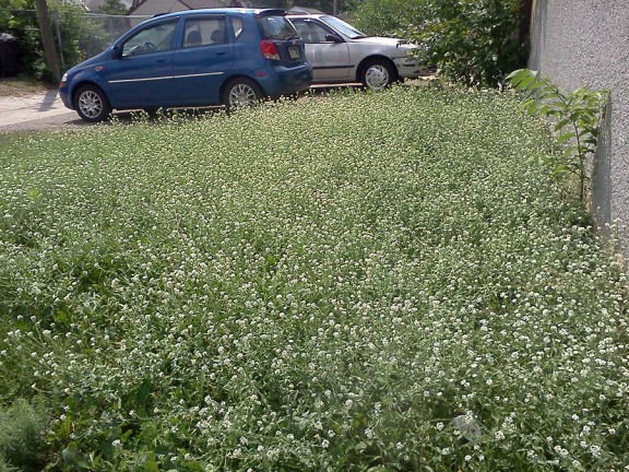 A backyard in South Minneapolis full of hoary alyssum.