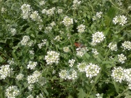 Hoary alyssum flowers visited by a squash vine borer adult moth