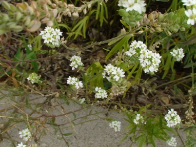 Hoary alyssum flowers being visited by a solitary bee.