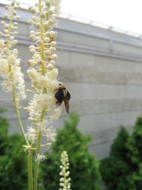 bumblebee on black cohosh