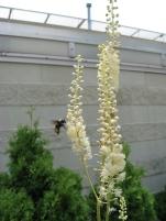 bumblebee visiting black cohosh