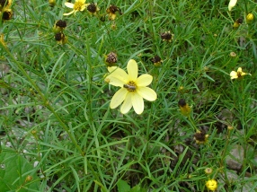 Coreopsis flower with native solitary bee.